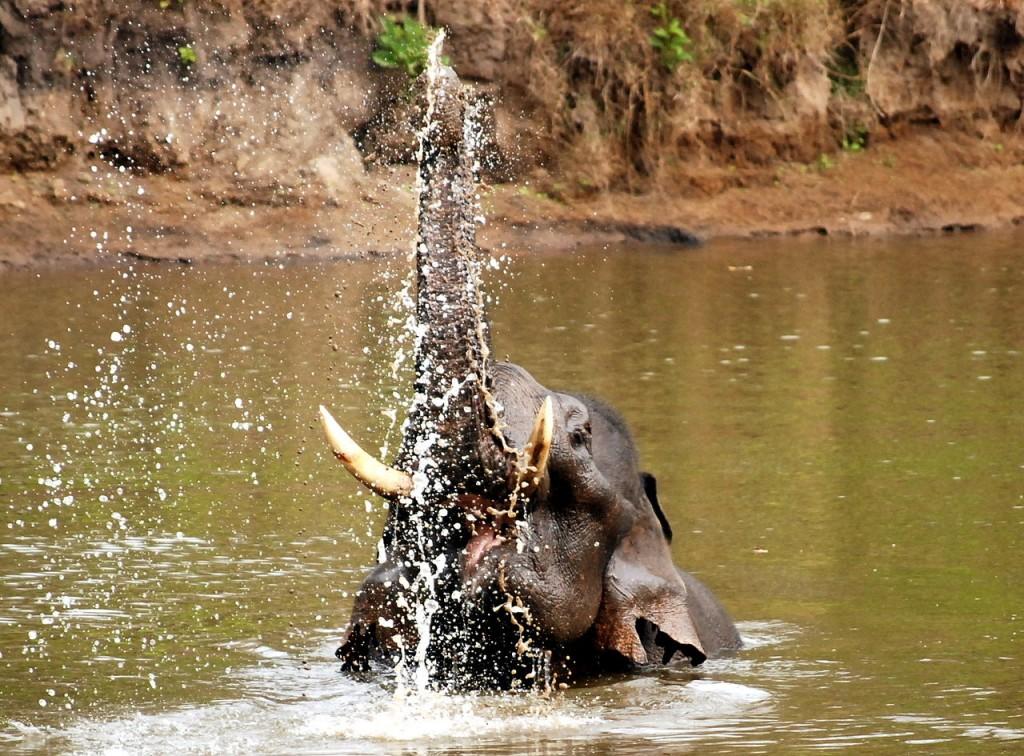 Elefantes en India: Nagarhole