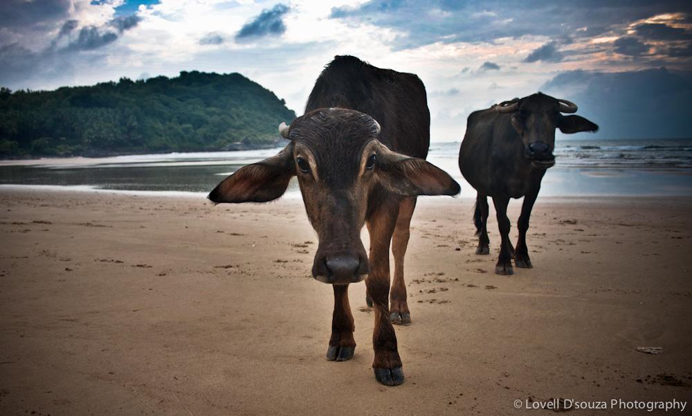 Vacas en la playa de Gokarna