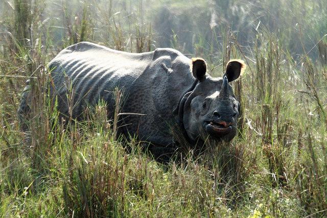 Rinoceronte asiático de un cuerno