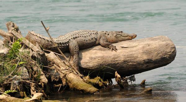 Cocodrilo en Parque Chitwan