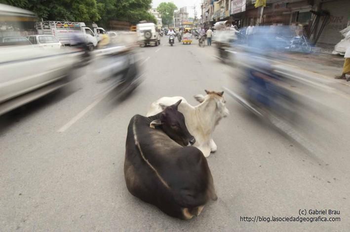 Vacas y tráfico en India
