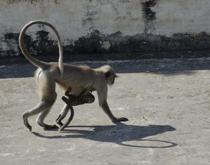 Monos en City Palace, Udaipur