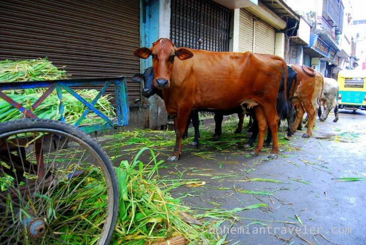 Vacas comiendo en Ahmeabad Gujarat