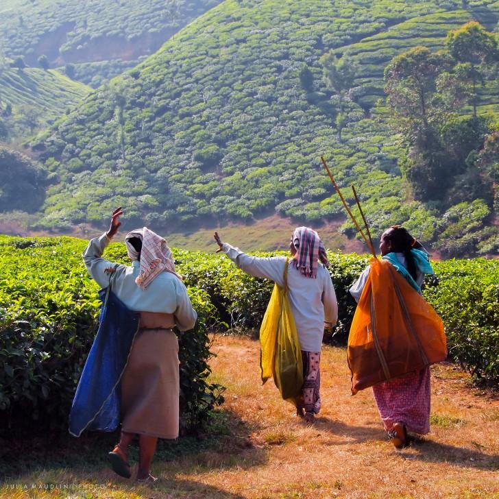 Viajar a India en agosto - Plantaciones de té