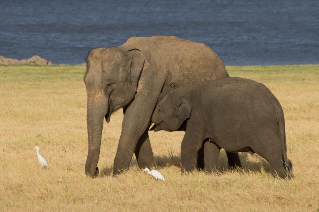 Viajar a Sri Lanka: Elefantes en Minneriya