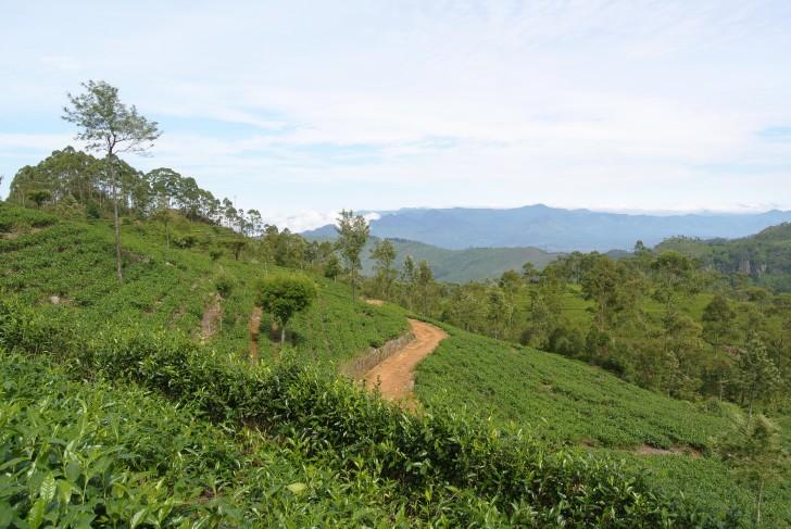 Viajar a Sri Lanka: Plantación de Te en Haputale -