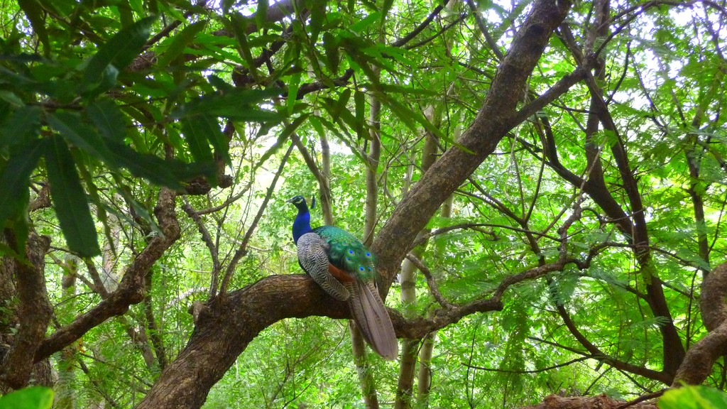 pavo real en India