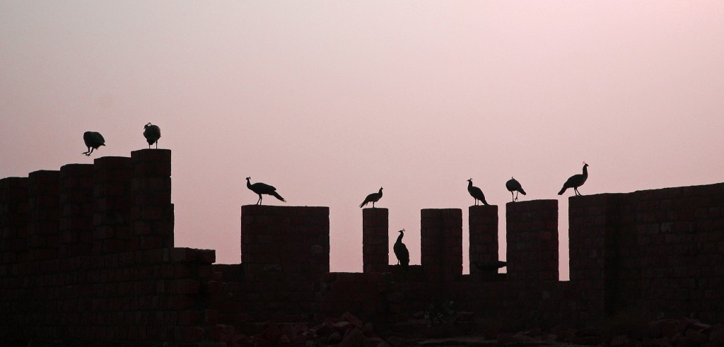 Peacock in India - Silhouettes of peacocks