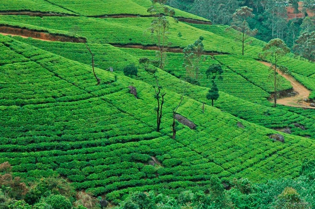 Plantaciones de té de Nuwara Eliya en Sri Lanka