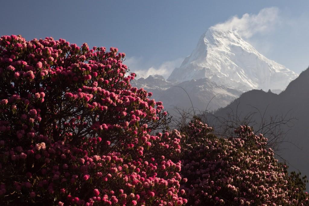 Bandera de Nepal - Flor nacional y montañas