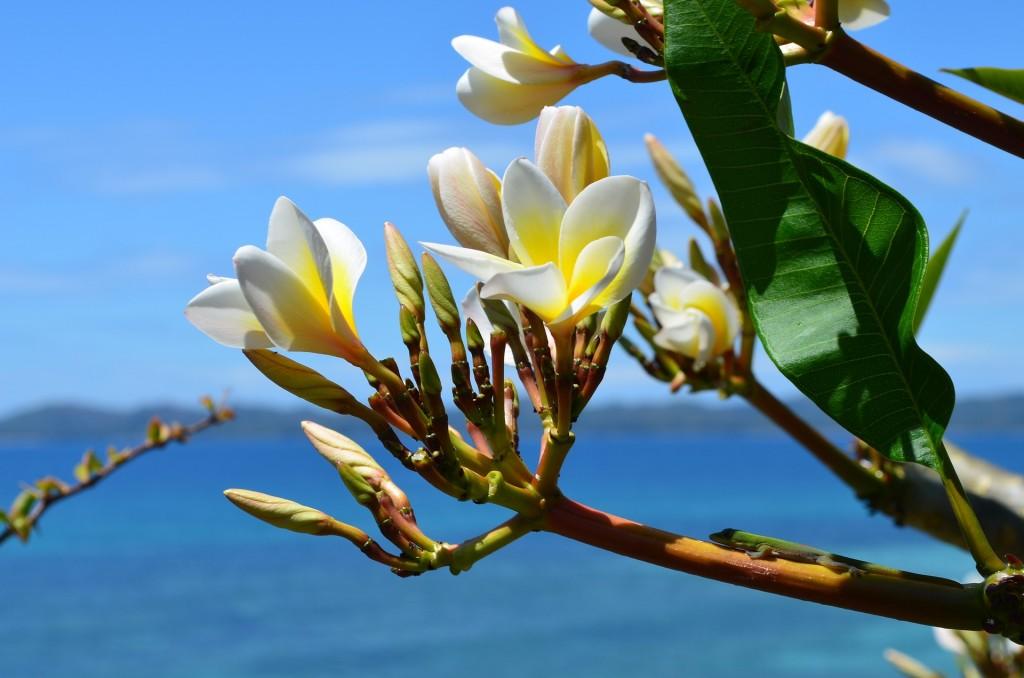 The smell of india - Frangipani facing the sea