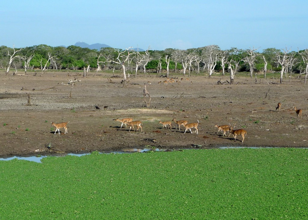 Safari en Yala