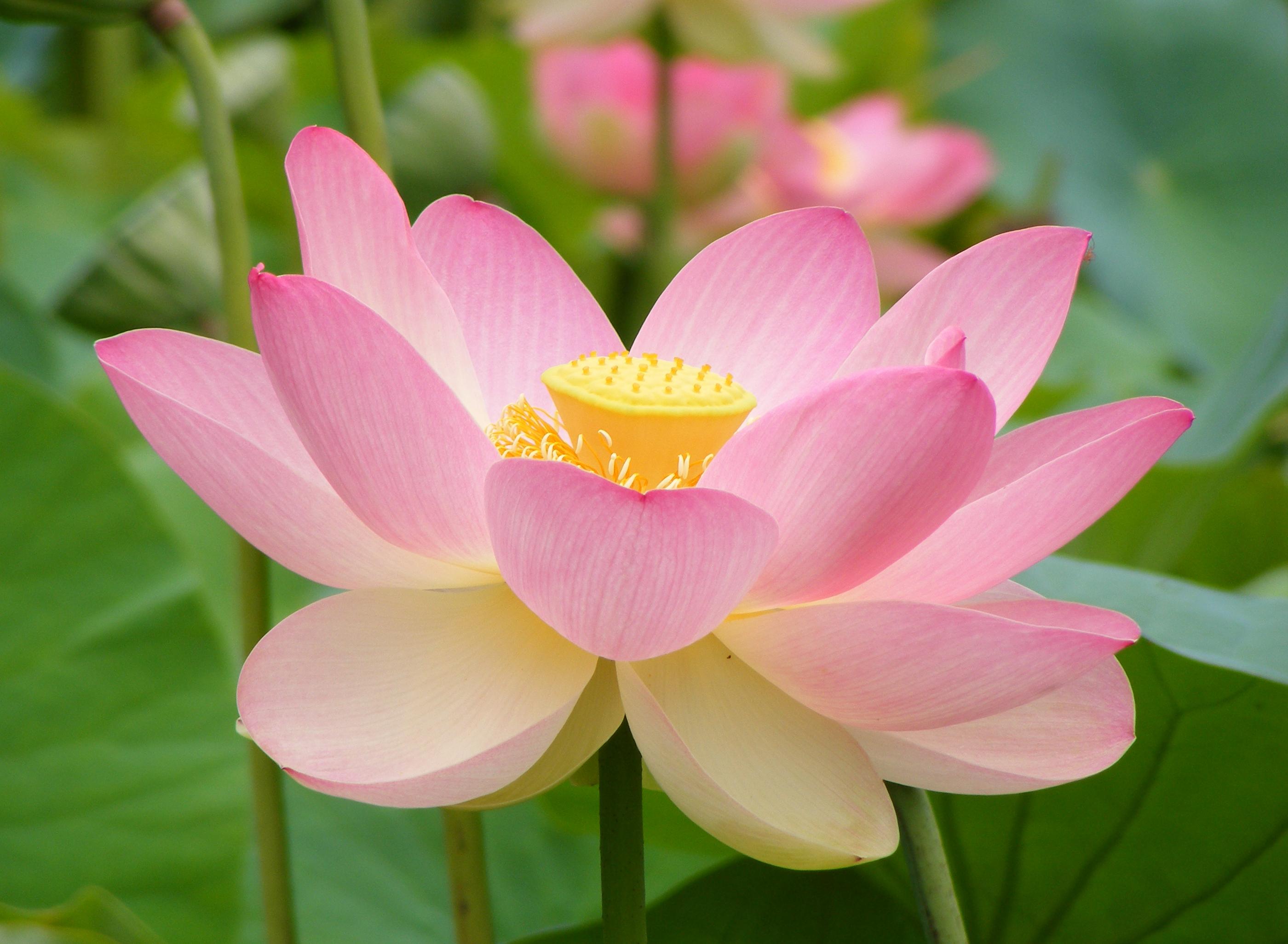 Flor De Loto En La India En Qué Consiste Su Simbolismo