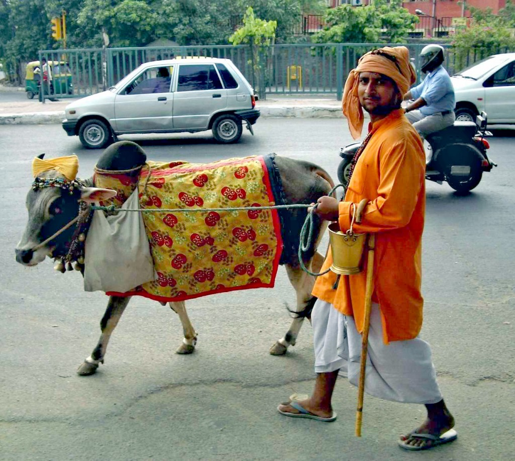 Sacred animals of India - Man walking a cow in Delhi
