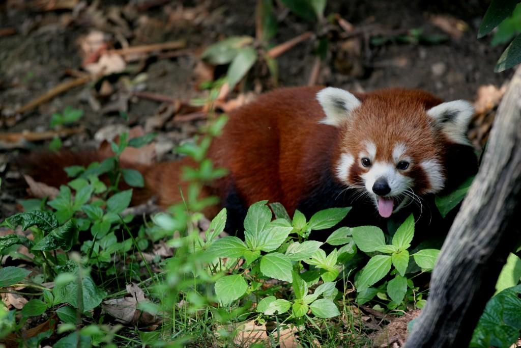 Ecoturismo en Butan - Panda rojo