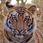 Bandhavgarh - Tigre de Bengala