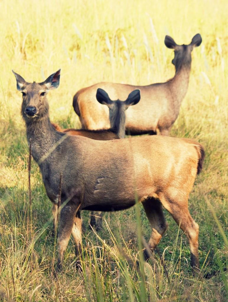 Safari con niños - ciervos en Bandhavgarh