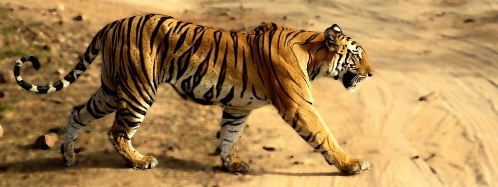 Bandhavgarh - Bengal Tiger