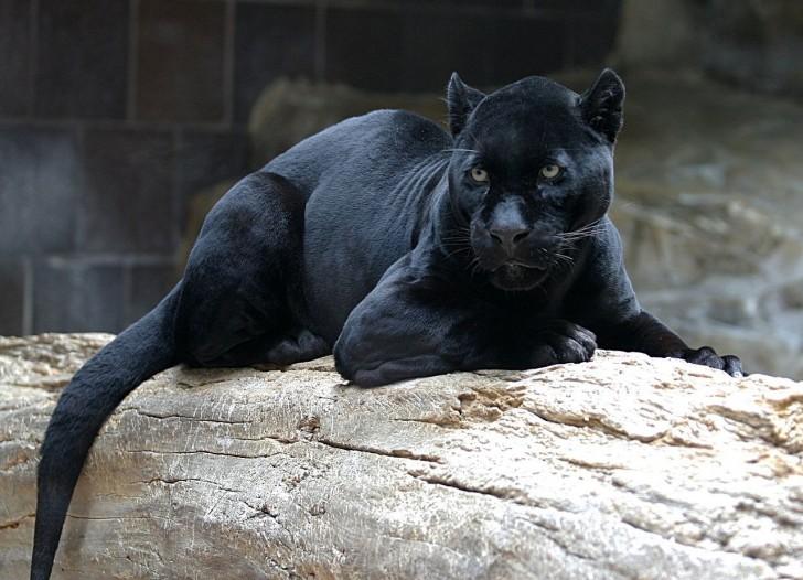 Ben Kingsley es Bagheera - Pantera negra en Kanha -