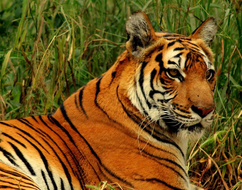 Idris Elba es Shere Khan - Tigre de Bengala -