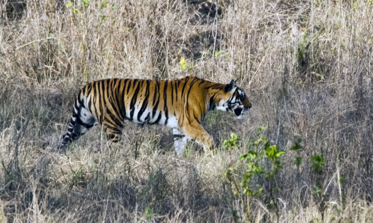 Kanha - Tigre de Bengala