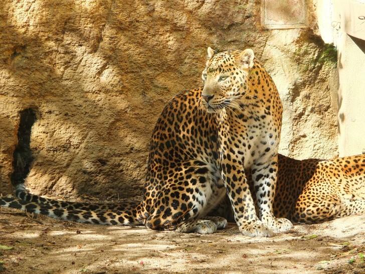 Viajar a Sri Lanka en verano. Leopardo de Sri Lanka