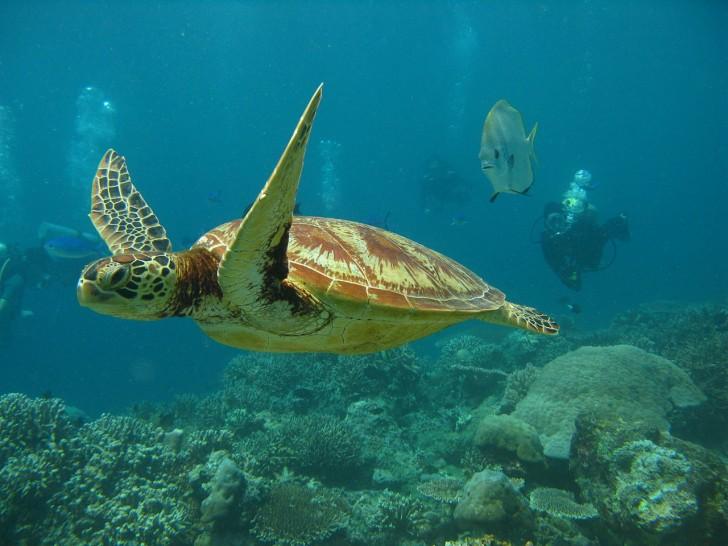 Tortugas marinas en Sri Lanka - Tortuga y buzo