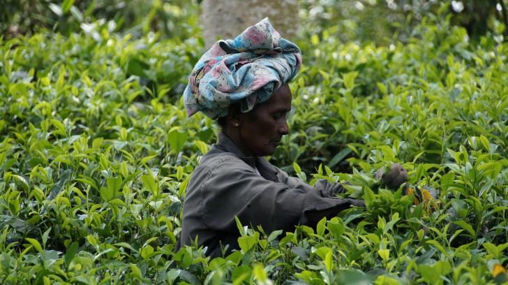 Viajar a Sri Lanka en abril. Recolección de té