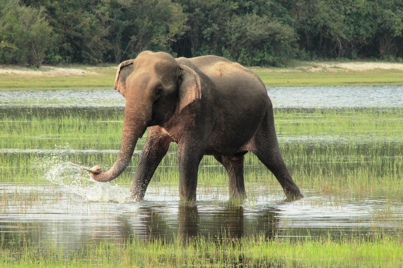 Viajar a Sri Lanka en marzo - Elefante en Wilpattu