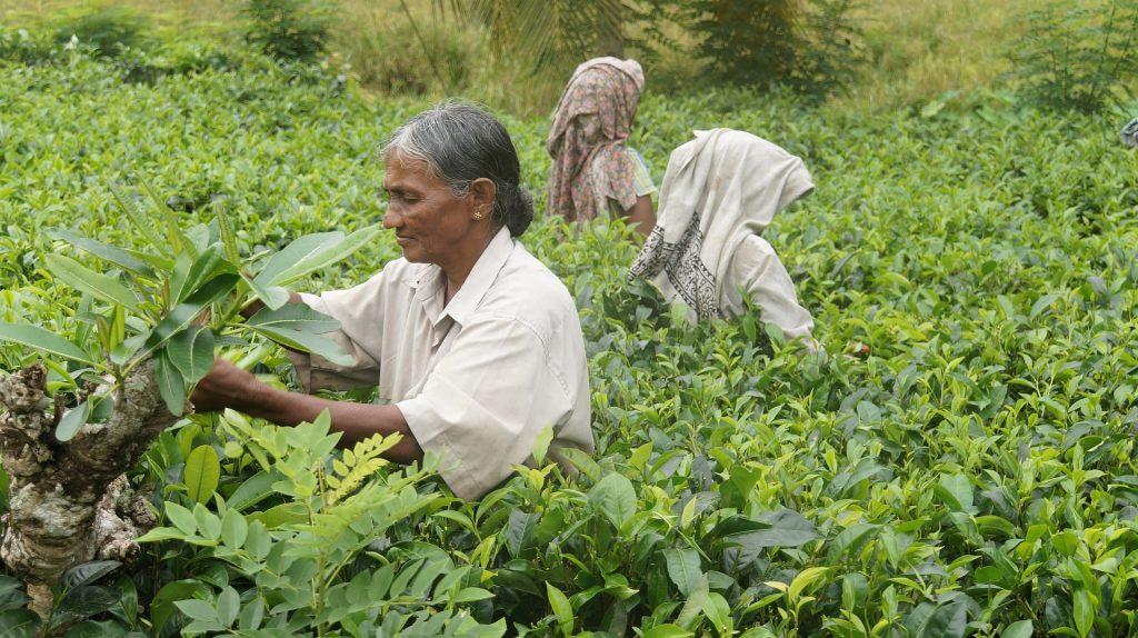 Viajar a Sri Lanka en agosto - Cosecha del te