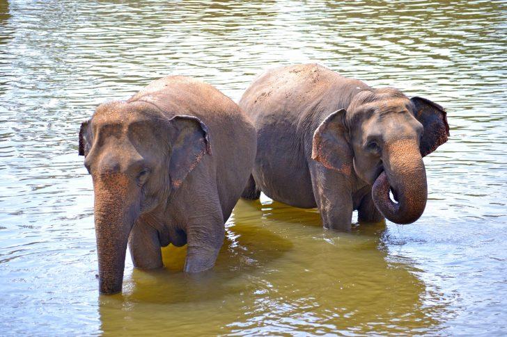 Viajar a Sri Lanka en agosto - Elefantes
