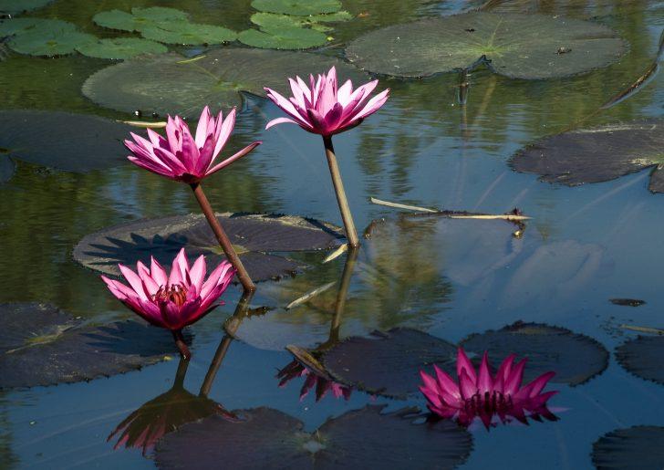 Flor nacional de Sri Lanka