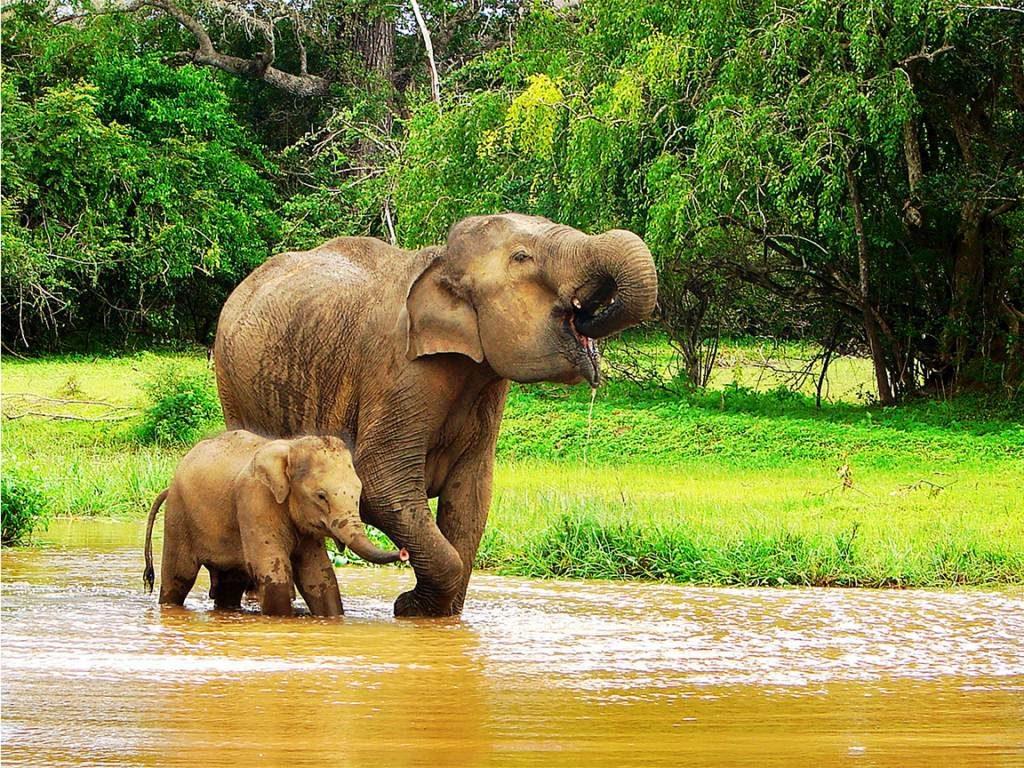 viajar a Sri Lanka en septiembre - Elefantes en Sri Lanka - Cuándo viajar a Sri Lanka