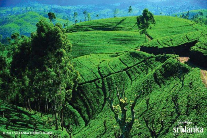 10 curiosidades de Sri Lanka - Plantaciones de té