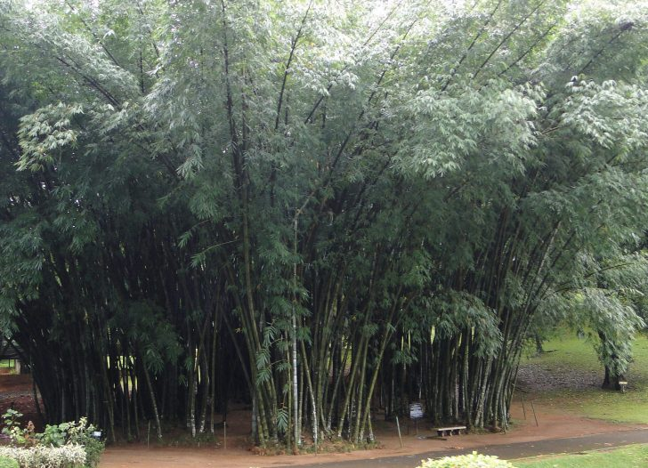 Bambúes Gigantes - Jardines de Perandeniya