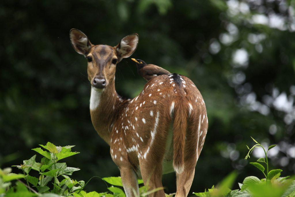 Ciervo en el estado de Kerala y sus parques naturales.
