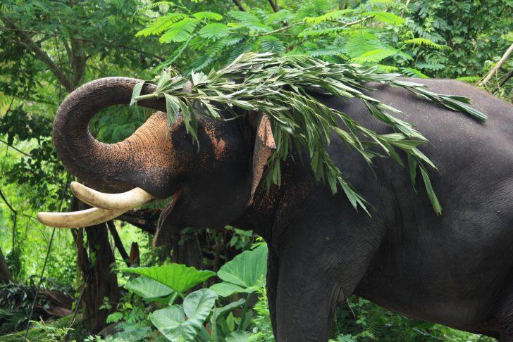 Cuándo ir de safari a India. Elefante salvaje