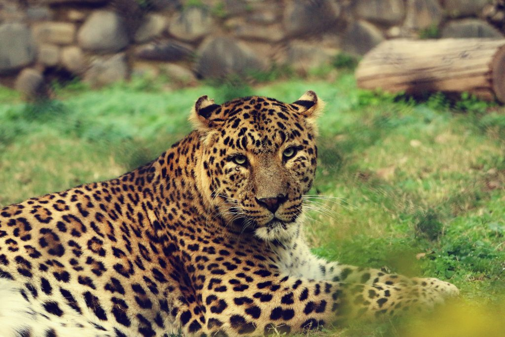 When to go on safari to India.  Leopard