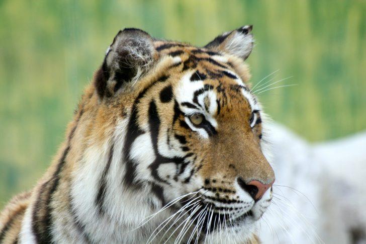 Animales del Himalaya
