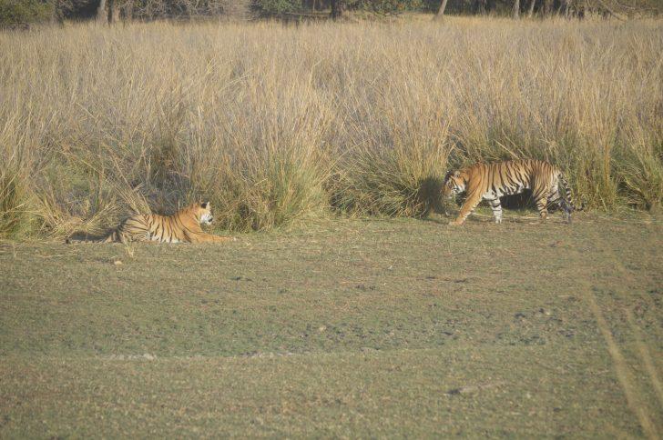 Ver tigres de Bengala - Rathambore