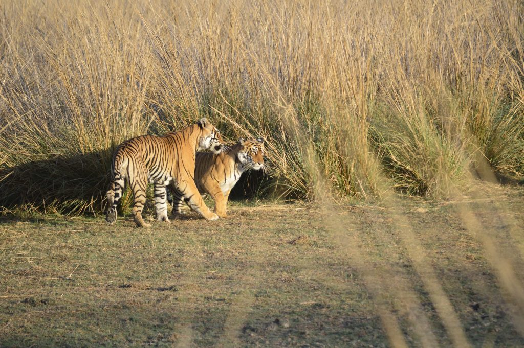 See Bengal Tigers - Dates to travel to India