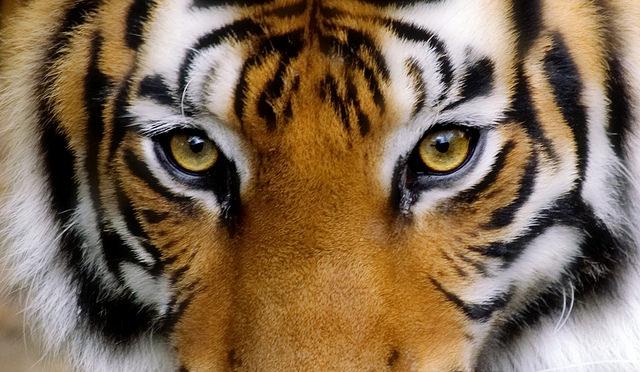 Donde ver al tigre de Bengala en India
