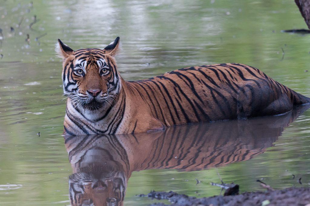 Avistar al tigre de bengala en Ranthambore