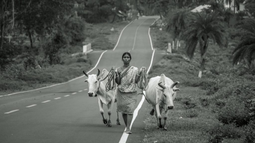 Indian woman with cows by the road