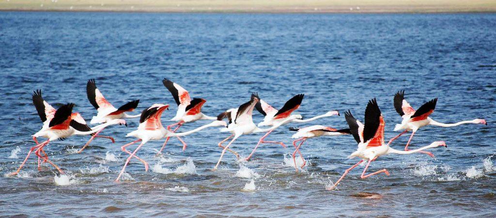 Flamencos indios llegando a Bundala National Park