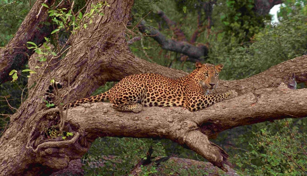 Leopard in the Yala National Park of Sri Lanka