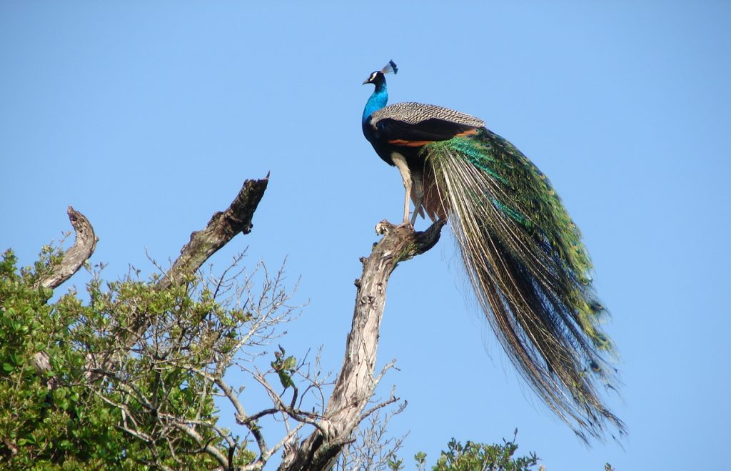 Pavo real en el Wasgamuwa National Park