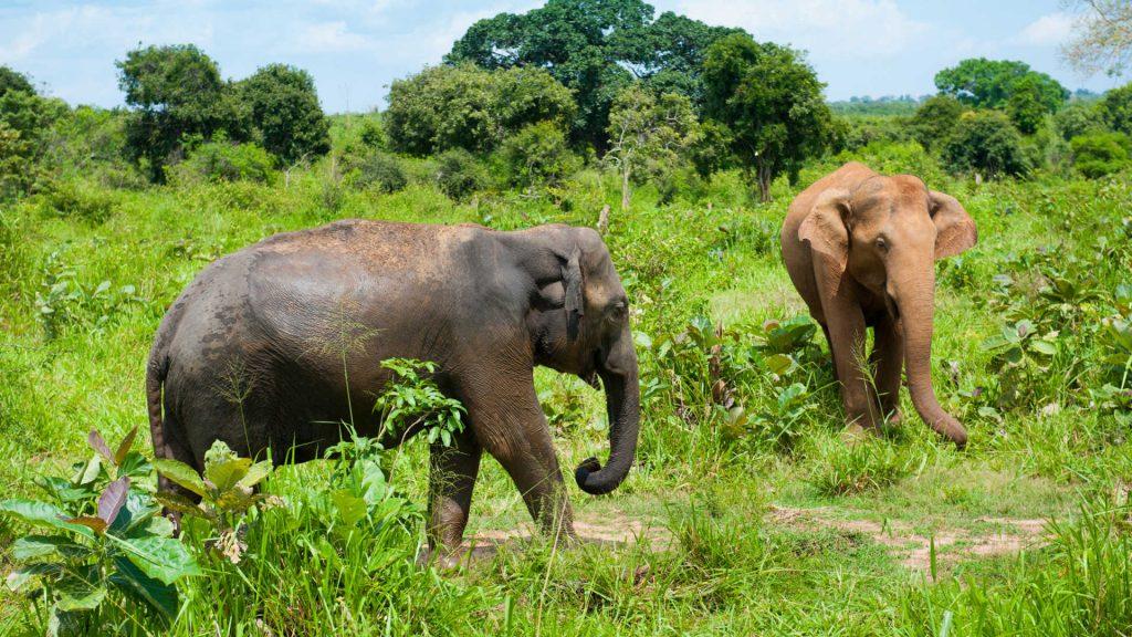Elefantes en el parque nacional de Udawalawe Sri Lanka
