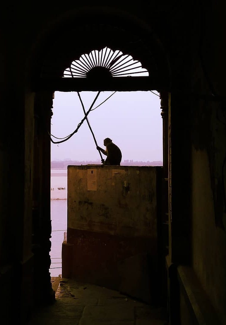 Mono indio en Varanasi
