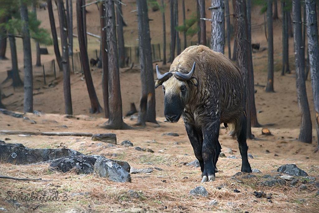 Ejemplar de takín en Motithang Takin Reserve